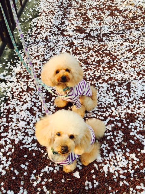 FullSizeRender桜絨毯