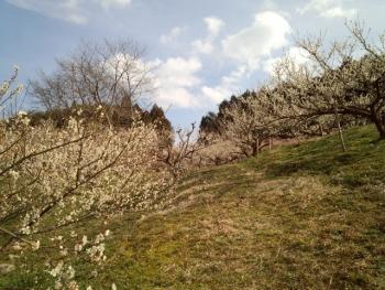 梅の花がきれい~~~♪2