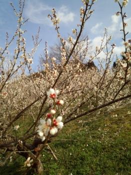 梅の花がきれい~~~♪3