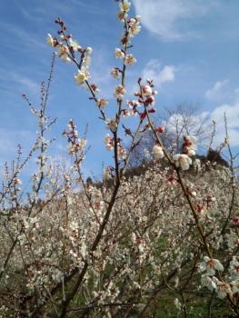 梅の花がきれい~~~♪