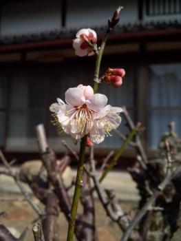 20150321花5