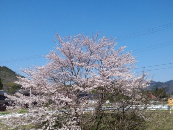 20150402桜6