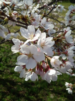20150402桜8