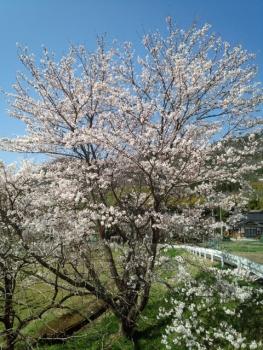20150402桜7