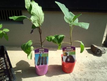 20150502野菜の苗4