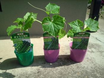 20150502野菜の苗6