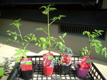 20150502野菜の苗