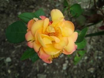 20150518アンネのバラ