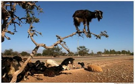 木登りヤギ~