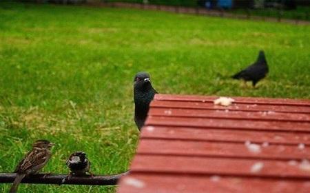 見つめる鳩~