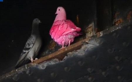 ピンクの鳩??.