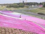 ドイツ村の芝桜