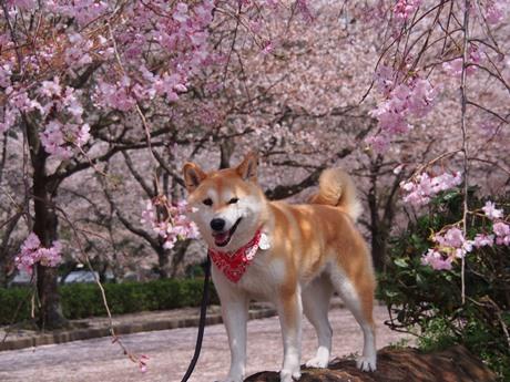 さくら×桜