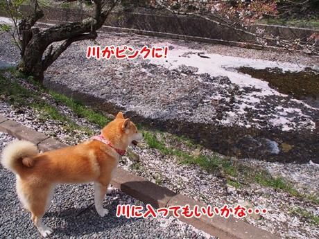 川がピンク~