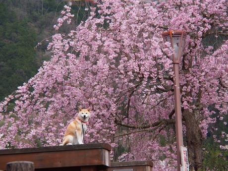 桜に襲われる!?