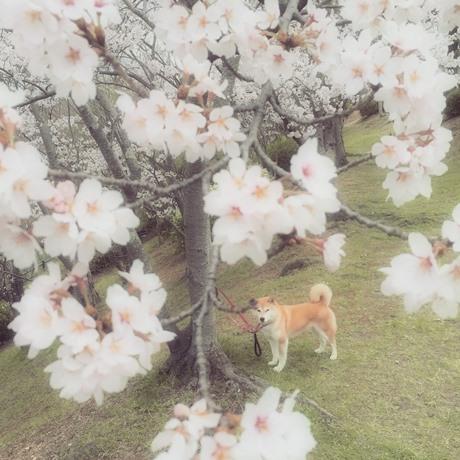 桜×さくら
