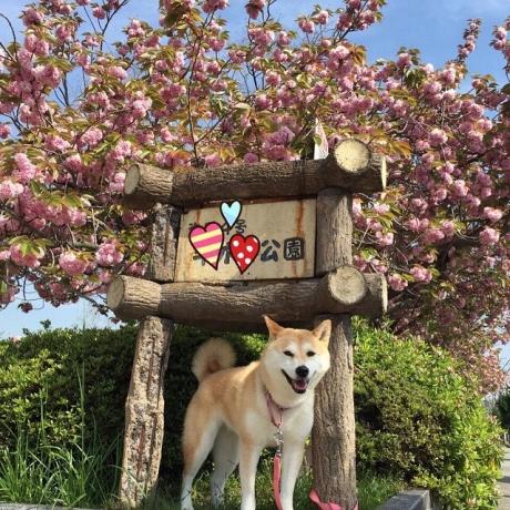 八重桜×さくら