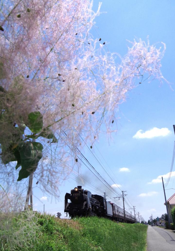 150607smoke-tree.jpg