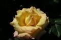 早咲きのピース