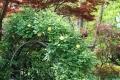 黄色のアーチバラ