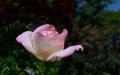 2番咲きモナコ