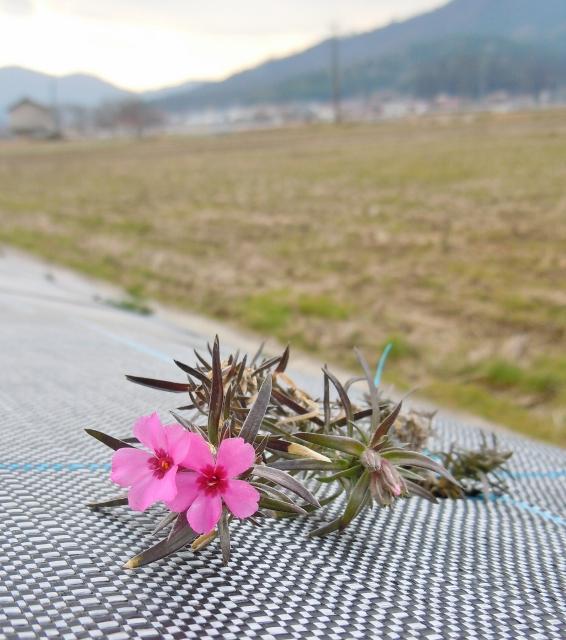 防草 芝桜