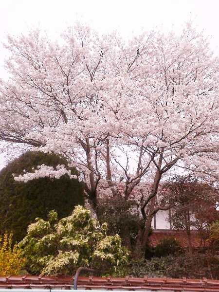 満開の桜 (450x600)