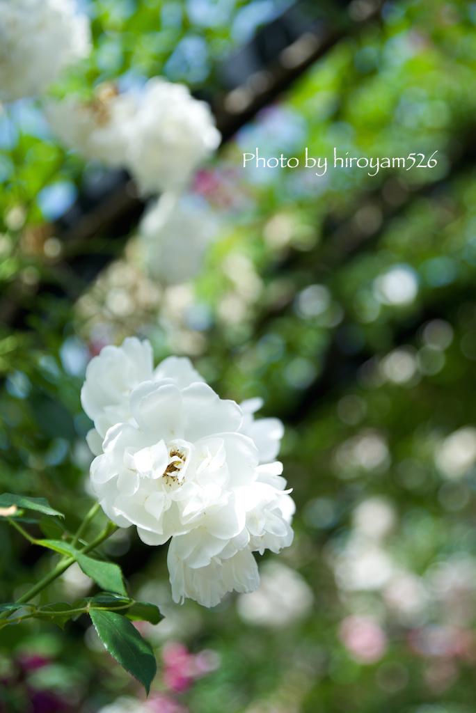hiroyam526DSC_4919.jpg