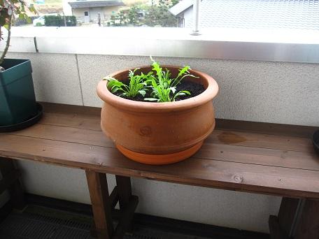 セルバチコ鉢植え2