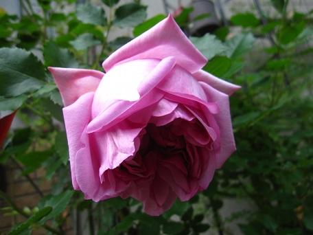 ローズポンパドゥール2015一番花6