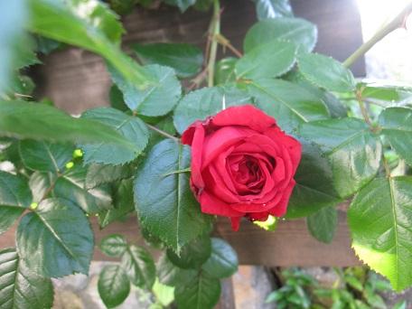 リパ2015一番花3