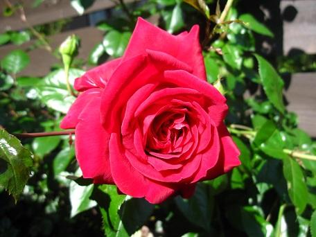 リパ2015一番花8