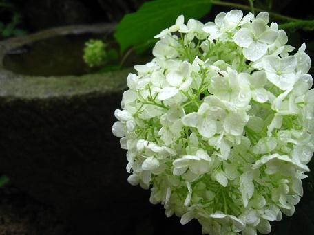 2015アナベル開花2
