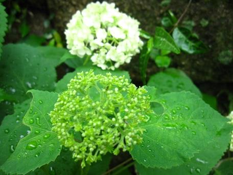 2015アナベル開花3