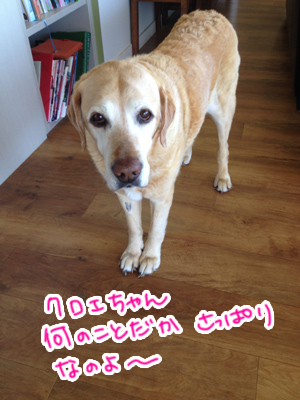 羊の国のラブラドール絵日記シニア!!「犬とガーデニングと私」4