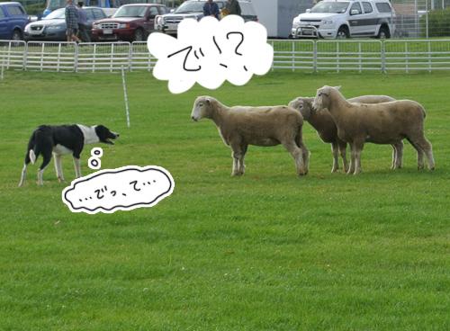 羊の国のラブラドール絵日記シニア!!「羊の国のシープドッグ・トライアル」3