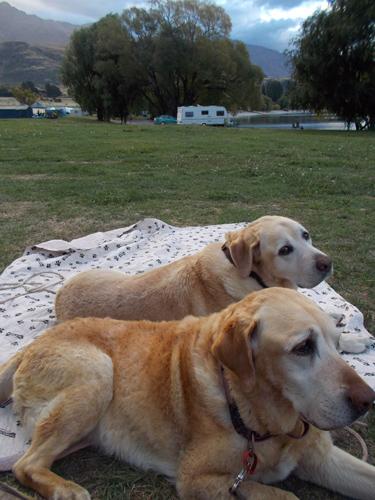 羊の国のラブラドール絵日記シニア!!「キャンプでのクロエちゃん」写真1