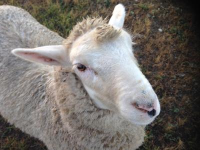 羊の国のラブラドール絵日記シニア!!「エビスとこまち」写真1