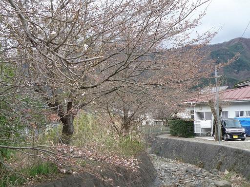 sakura431.jpg