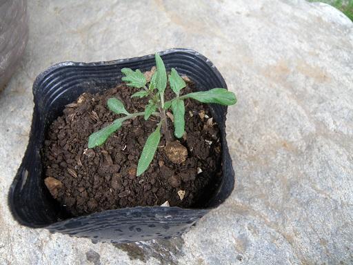 tomat0151.jpg