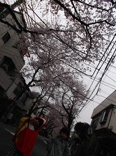 yanagiharasakura.jpg