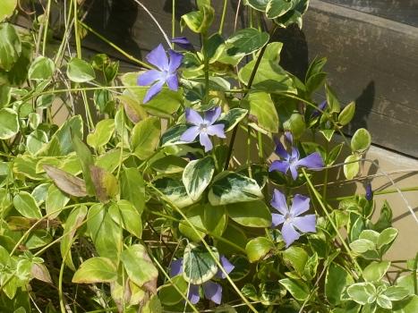 「ツルニチニチソウ ~覆輪の葉と青紫色の花」
