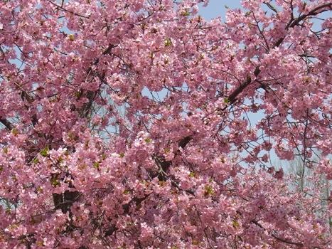 「カワヅザクラ(河津桜)~早春の桜」