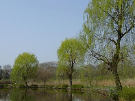 「シダレヤナギ ~長く枝垂れる細い枝(1)」