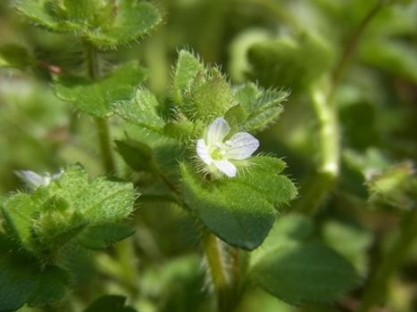「フラサバソウ ~極小の花・長い毛」