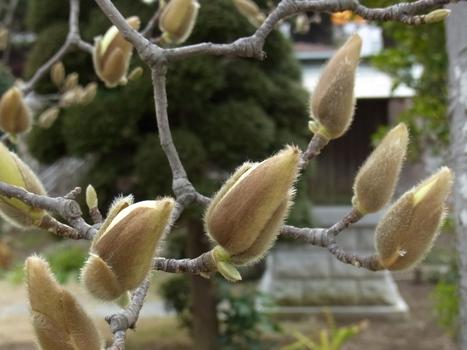 「ハクモクレン ~蕾から白い大型の花へ(1)」