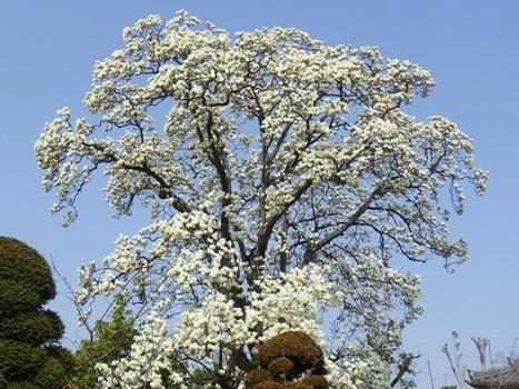 「ハクモクレン ~蕾から白い大型の花へ(2)」