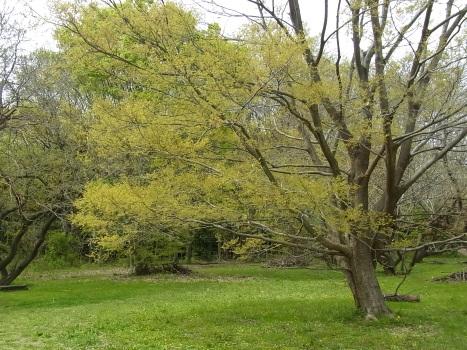 「エノキ ~新葉と開花」