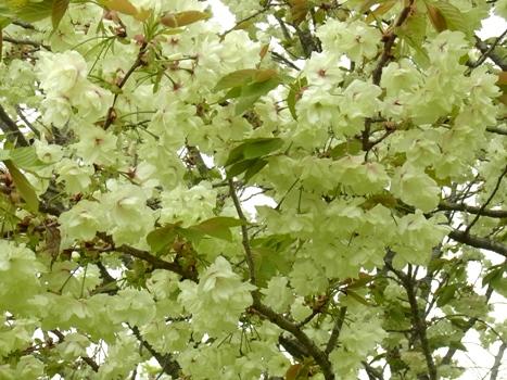 「サクラ ~八重桜;鬱金」