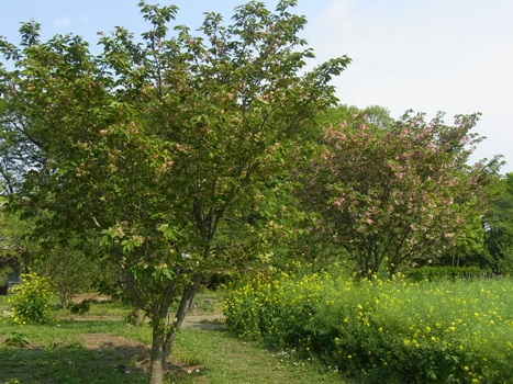 きれぎれの風彩 「鬱金桜」1-6